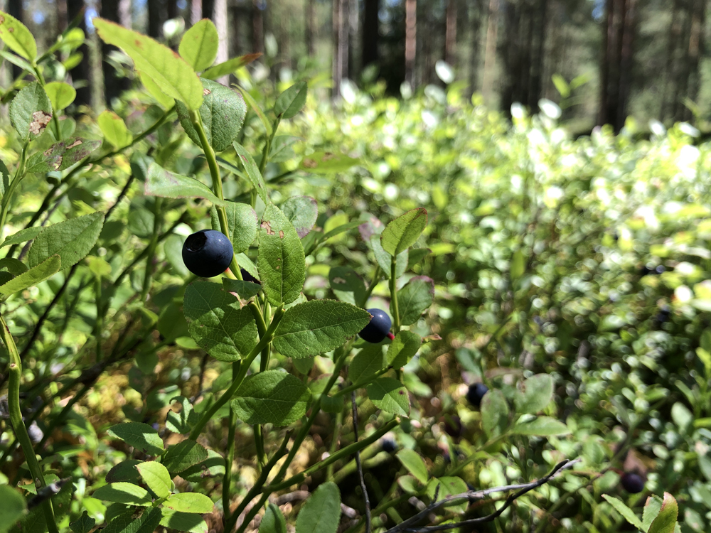 Blueberries on the way